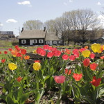 View of tulips blooming in the spring at the Wyckoff farmhouse