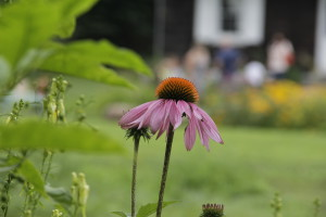 Image of echinacea blooming in front of the Wyckoff farmhouse