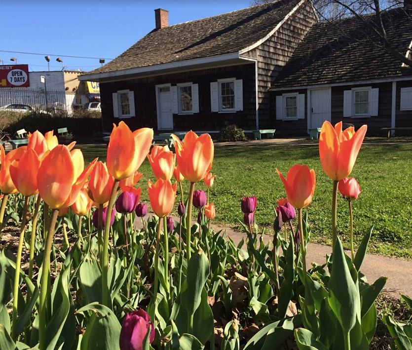The Wyckoff House Museum in the background with pink and orange tulips in the foreground.