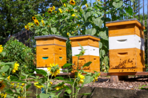 Three white and brown honeybee hives next to large sunflowers